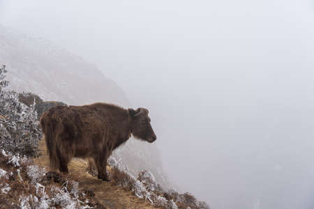 A yak standing on a trail on the edge of a cliff looking into the fog.