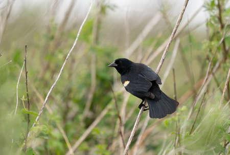 A Redwing Blackbird Sitting on a grass stem.