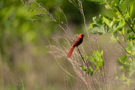 A Cardinal sitting on a small branch in the outdoors.