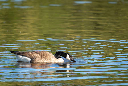 A Canada Goose swimming on a lake with its beak in the water. 免版税图像
