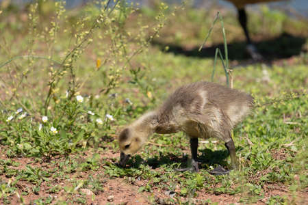 A canada goose gosling on the shore of a lake.