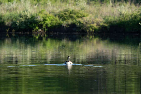 A Canada Goose swimming on a lake.
