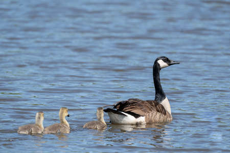A Canada Goose swimming in a lake followed by her goslings.