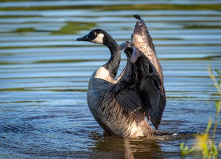 A Canada Goose flapping its wings in a lake. 免版税图像