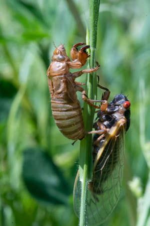 An Empty Locust Shell and Hatched Locust on a blade of grass.