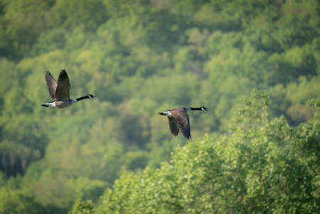 Two Canada Geese Flying over the forested landscape.