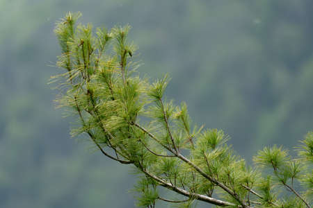 An Isolated Pine Tree Bough with a blurred green background. 免版税图像