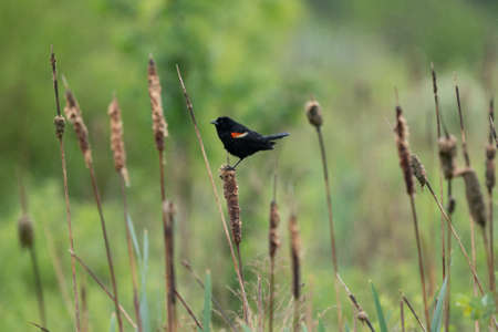 A red winged blackbird on a cattail in the rain.