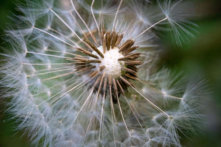 A dandelion ball with the seeds starting to leave.