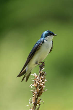 A Tree Swallow Perched on Weed in a field. 免版税图像