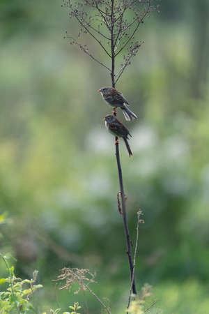 A small sparrow songbird sitting on a weed. 免版税图像