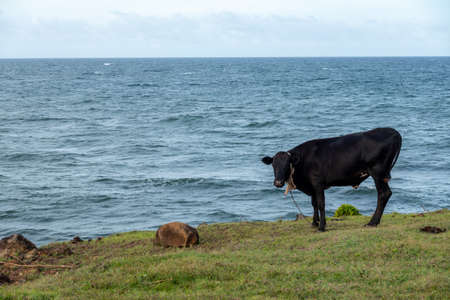 A Cow tied in a pasture by the side of a sea in the evening light. 免版税图像