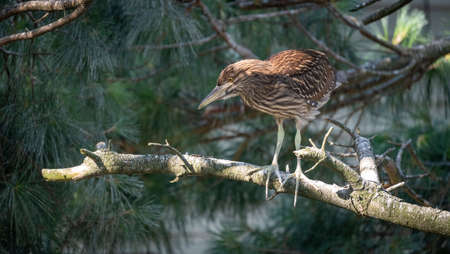 A Black Crowned Night Heron sitting on a pine branch.