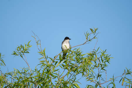 A kingbird perched on a branch at the top of a tree.