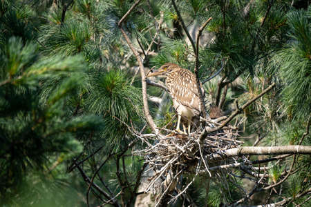 A Black Crowned Night Heron sitting on its nest in a pine tree. 免版税图像