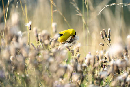 An American goldfinch picking thistle down from the plant.