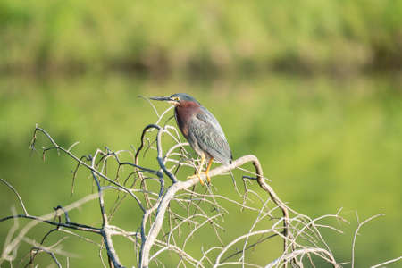 A green heron perched on a branch over the water.