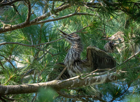 Two black crowned night herons sitting on a nest in a pine tree. 免版税图像