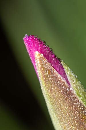 A macro shot of dewdrops on an iris flower bud. 免版税图像