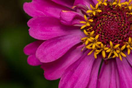 A macro shot of a Pink Elegant Zinnia Flower. 免版税图像