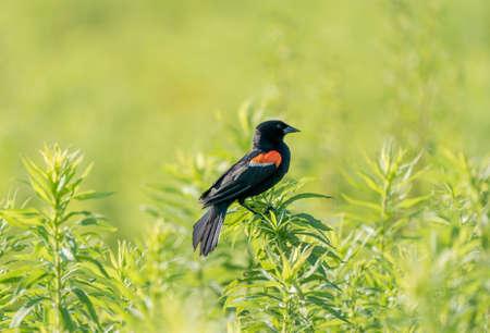 A red winged blackbird perched on a bush. 免版税图像