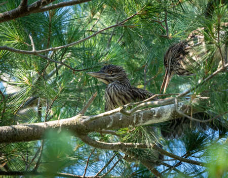 Ywo Young Black Crowned Night Herons sitting on a branch in a pine tree.