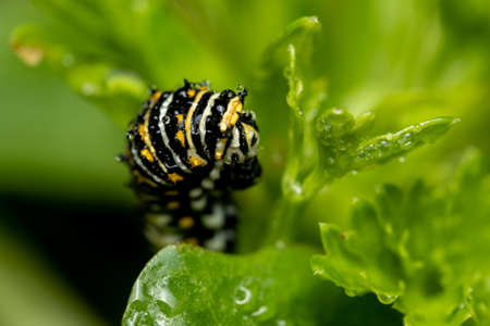 A Common Swallowtail Caterpillar eating leaves of parsley.