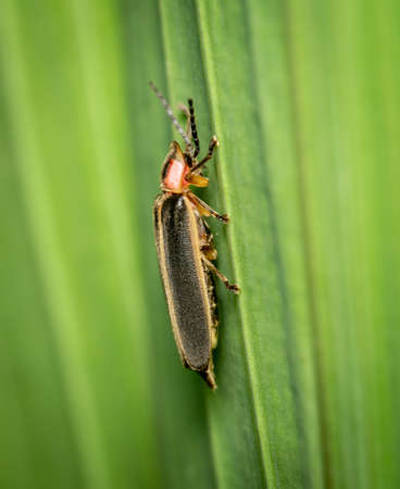 A side view of a Firefly or Lightning Bug on a green plant.