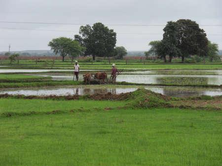Agriculture scene in India