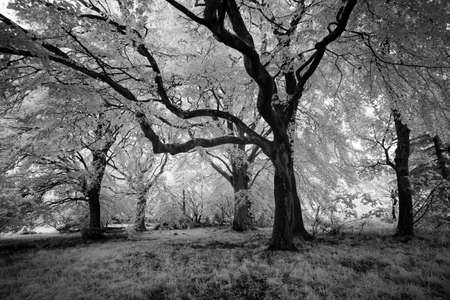 A monochrome infrared image of beech trees at Beecraigs Country Park, Linlithgow,West Lothian, Scotland, UK.