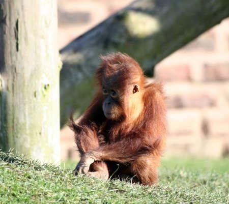 orang: A very young  orang utan playing on the grass