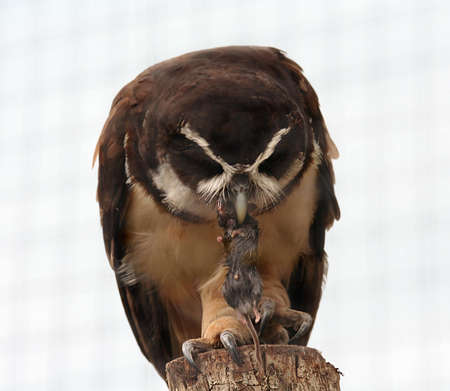 close uo: A close uo of an owl eating a dead mouse Stock Photo