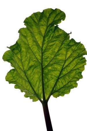 A backlit rhubarb leaf on white