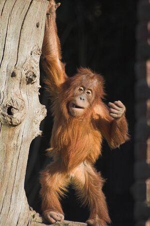 A  orang utan sitting on a log photo