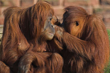 Two orang utan grooming each other photo