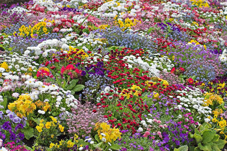 polyanthus: A mass of mixed  flowers blooming in the spring
