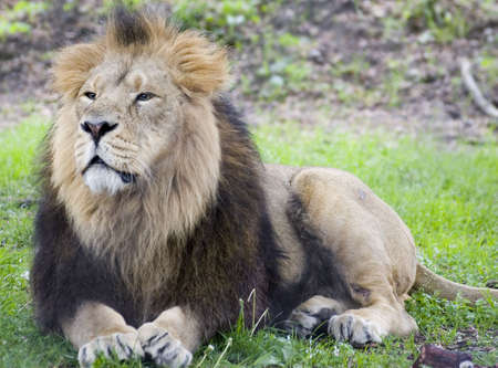 vicious: A Male Asiatic lion lying in the sun Stock Photo