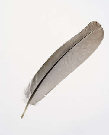 A feather suitable to use a a quill pen