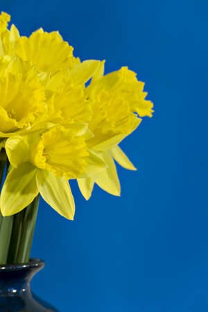 Golden daffodils in a blue vase against a blue background