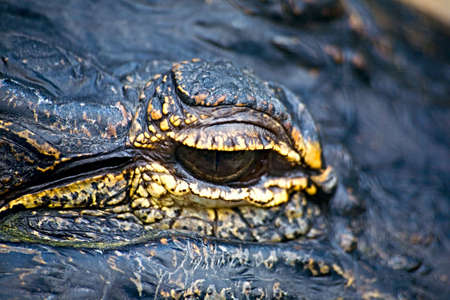Close up of the eye of an alligator, or is it a dragon? photo