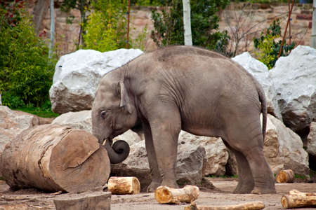 A young elephant pushing a log, working in a lumberyard Stock Photo