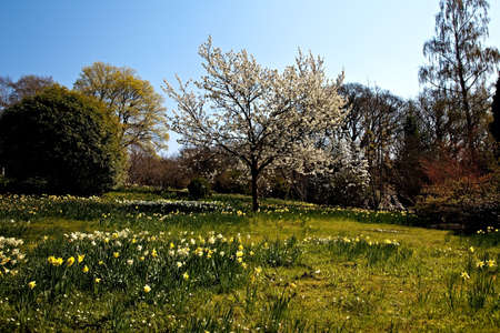 Fields and meadows full of daffodils and cherry blossom in the spring photo