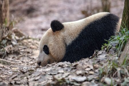 Panda Bear Sleeping in the forest, China Wildlife. Bifengxia nature reserve, Sichuan Province. Cute Lazy Baby Panda Sleeping on the ground, Enjoying an afternoon nap with eyes closed. Zdjęcie Seryjne