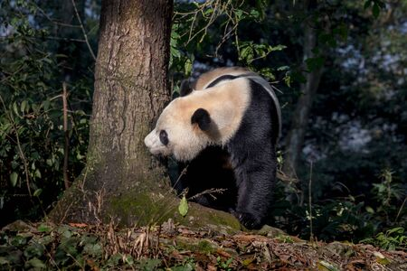 Curious Panda Bear Bei Bei Sniffing the side of Tree in Bifengxia nature reserve, Sichuan Province China. Protected Species, Cute Young Male Panda exploring the Forest. Chinese Wildlife Zdjęcie Seryjne