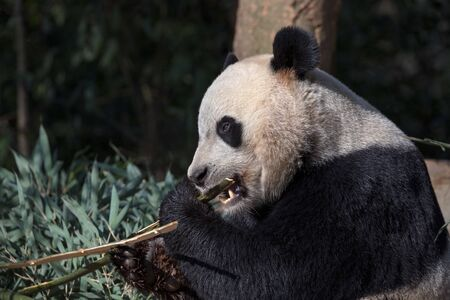 Panda Bear Eating Bamboo, Bifengxia Panda Reserve in Yaan Sichuan Province, China. Panda Bei Bei eating a small chunk of Bamboo, side portrait view. Protected Species Animal Conservation