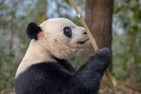 Panda Side Portrait, Bear MunchingEating Bamboo in Sichuan Province, China. Beautiful Fluffy Adult Panda with happy expression on its face. Natural Forest, Panda Enjoying Lunch Zdjęcie Seryjne