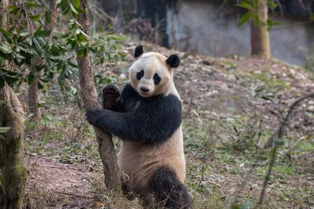 Happy Panda Bear Standing Upright, Leaning Against a Tree and Waving at the Viewer, Bifengxia Panda Reserve in Yaan - Sichuan Province, China. Endangered Species Animal Conservation.