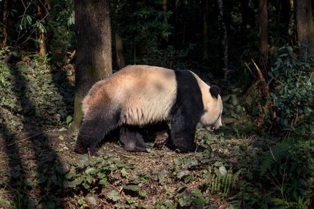 Side Profile Photograph Panda Bear Bei Bei Taking a Walk in the forest of Bifengxia nature reserve, Sichuan Province China. Protected Species, Cute Young Male Fluffy Panda. Chinese Wildlife Zdjęcie Seryjne