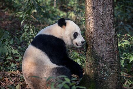 Panda Bear Sitting in the Forest of Bifengxia Panda Reserve in Yaan Sichuan Province, China. Fluffy Panda Bei Bei sitting on the ground, looking at the viewer. Protected Species Animal Conservation Zdjęcie Seryjne