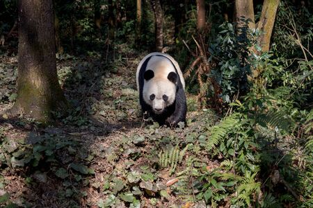 Front View of Panda Bear Bei Bei Taking a Walk in the forest of Bifengxia nature reserve, Sichuan Province China. Protected Species, Cute Young Male Fluffy Panda. Chinese Wildlife